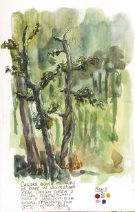 Muskeg Cedars