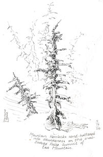Wind Batttered Mountain Hemlocks