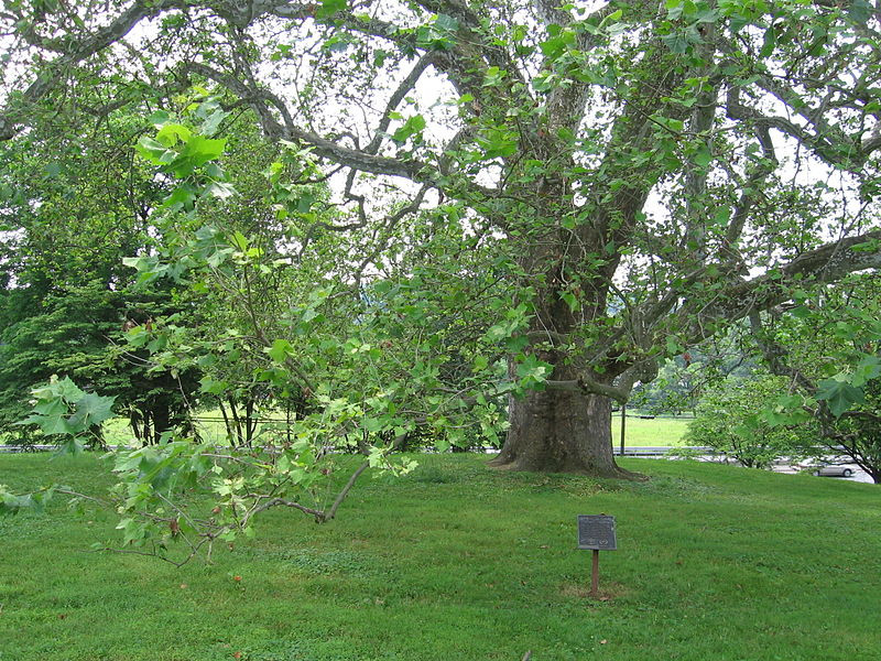 Bicentennial sycamore tree, Brandywine Battlefield, Chadds Ford PA