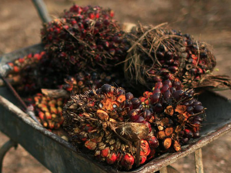 Palm Oil Prices to Rally in First Half Of 2021