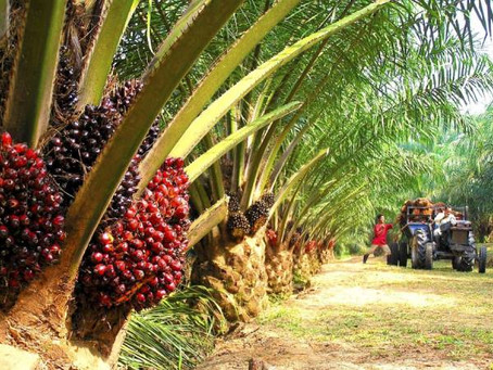 MPOB Expects Palm Oil Exports Revenue to Reach RM74 Bil