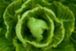 plant- cabbage growing.jpg