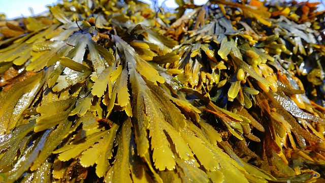 Seaweed: The Optimal Food for Ridding the Body of Toxins