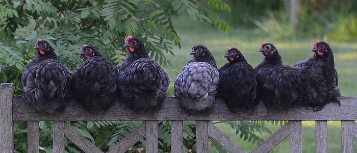 chicken-2742352__340.jpg