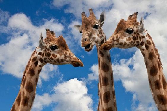 giraffes-627031__340.jpg