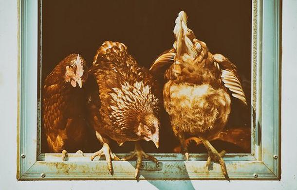 chicken-4139176__340.jpg