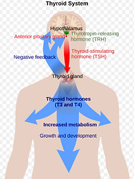 thyroide hoormones regulation_edited.png