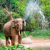 Elephant make water spray - shower.jpg