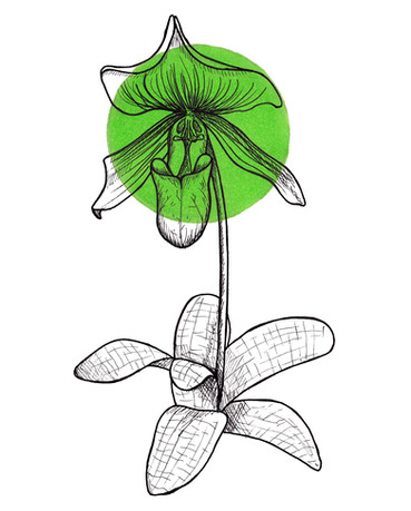 Day 9 Lady Slipper Orchid.jpg