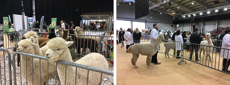 At the British Alpaca Society's Annual show 2017