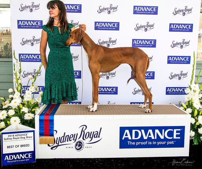 Grantulla Azawakhs, Best of Breed & Runner up Best of Breed Sydney Royal Show 2018