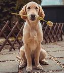 Dog with tulip.jpg