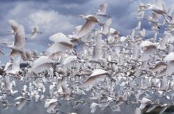 Cattle Egrets Nairobi Nat Park.jpg