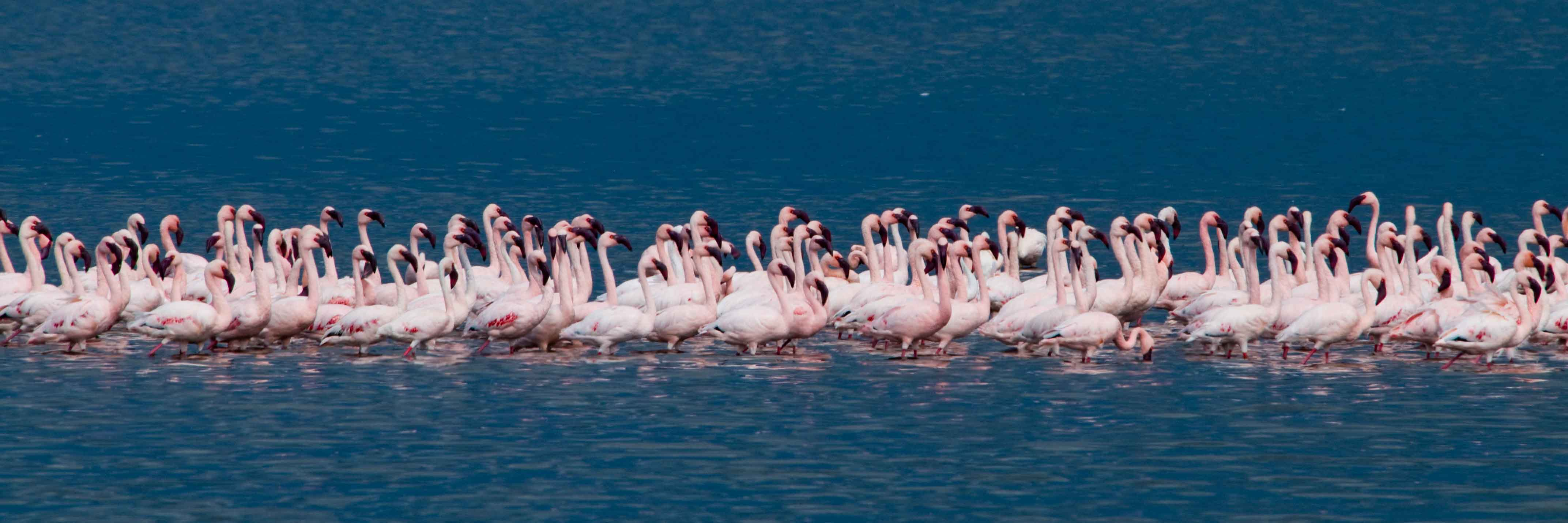 Lesser Flamingoes.jpg