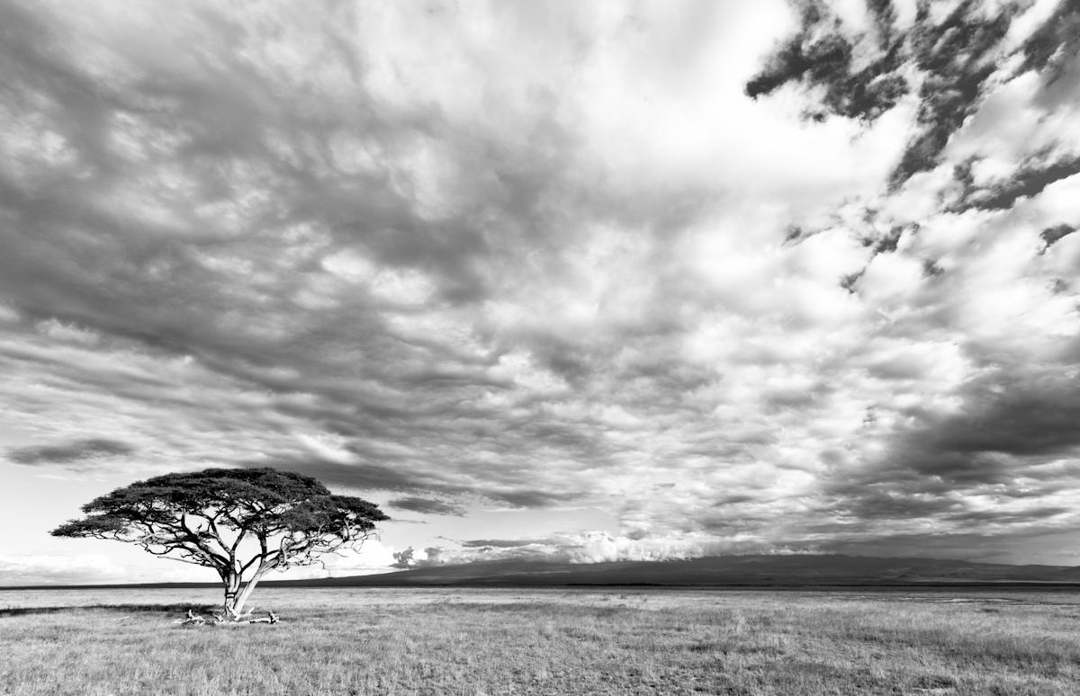 Lone Tree with Kilimanjaro