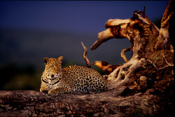 Leopard on Dead Tree Maasai Mara (2).jpg