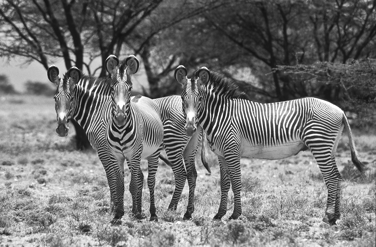 Hypnosis of Grevy's