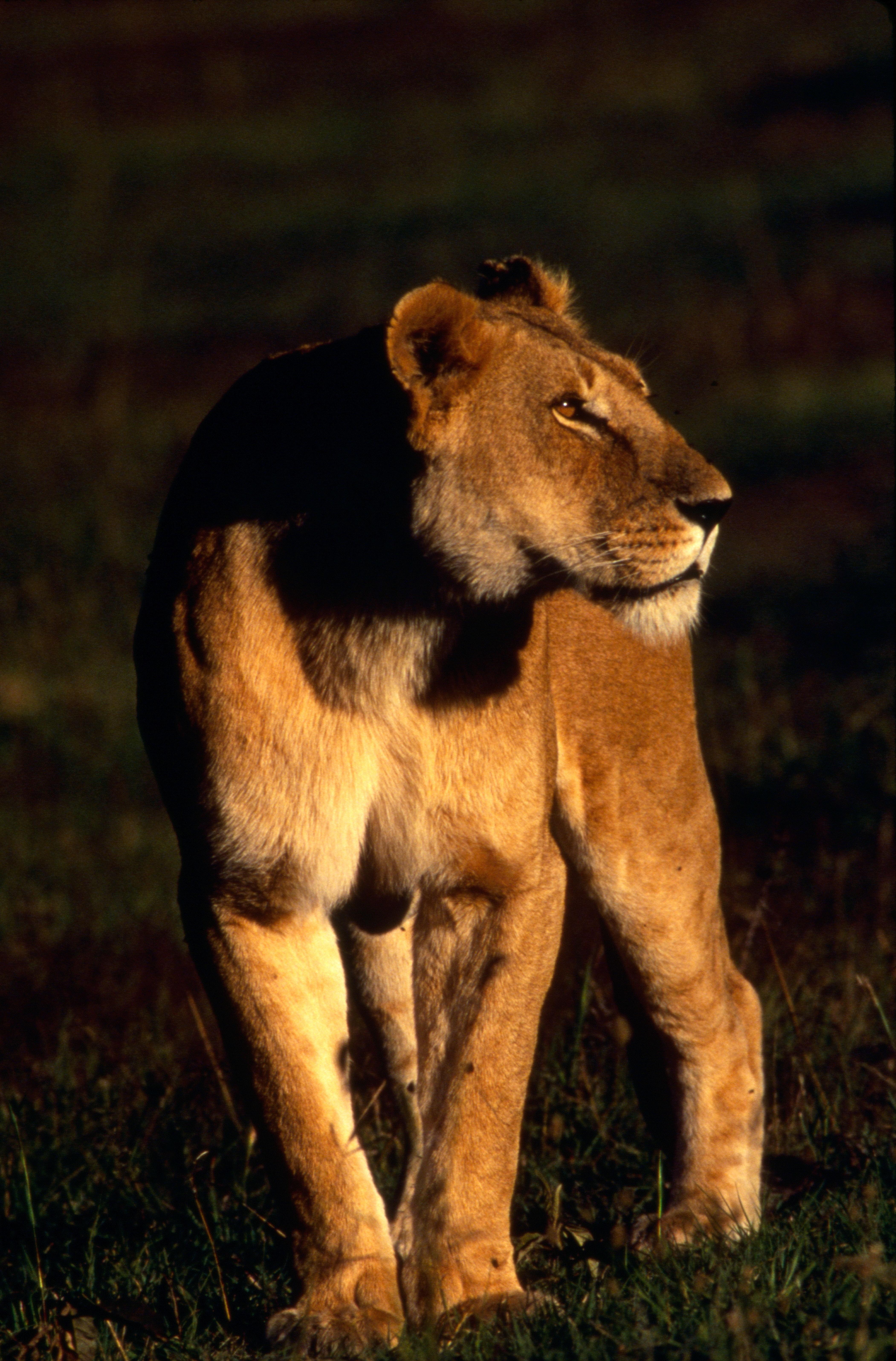 Lioness Maasai Mara.jpg