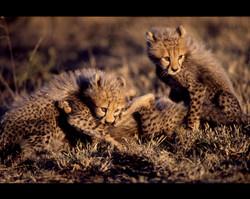 Cheetah Cubs Playing.jpg