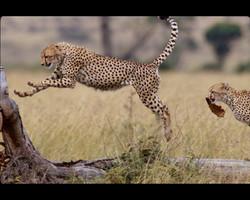 Cheetah Chase.jpg