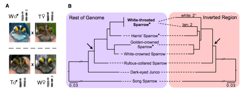 Divergence and functional degradation of a sex-chromosome like super-gene