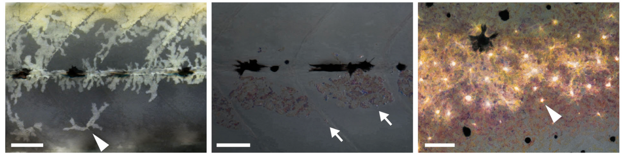 Thyroid hormone−dependent adult pigment cell lineage and pattern in zebrafish