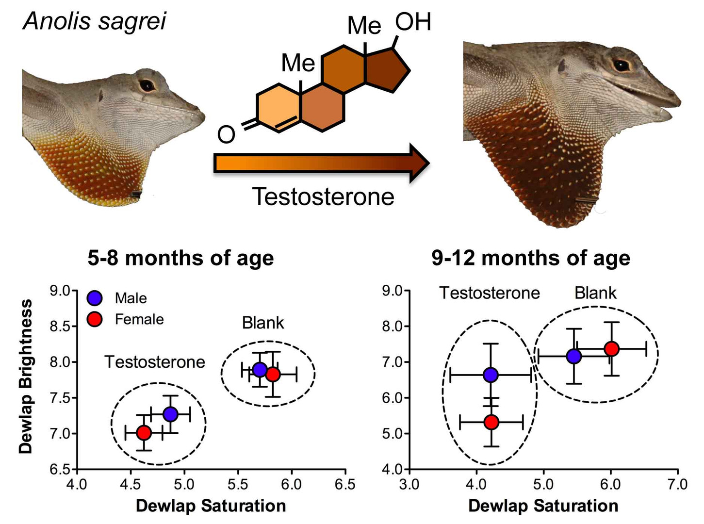 Female anoles retain responsiveness to testosterone despite the evolution of androgen-mediated sexual dimorphism