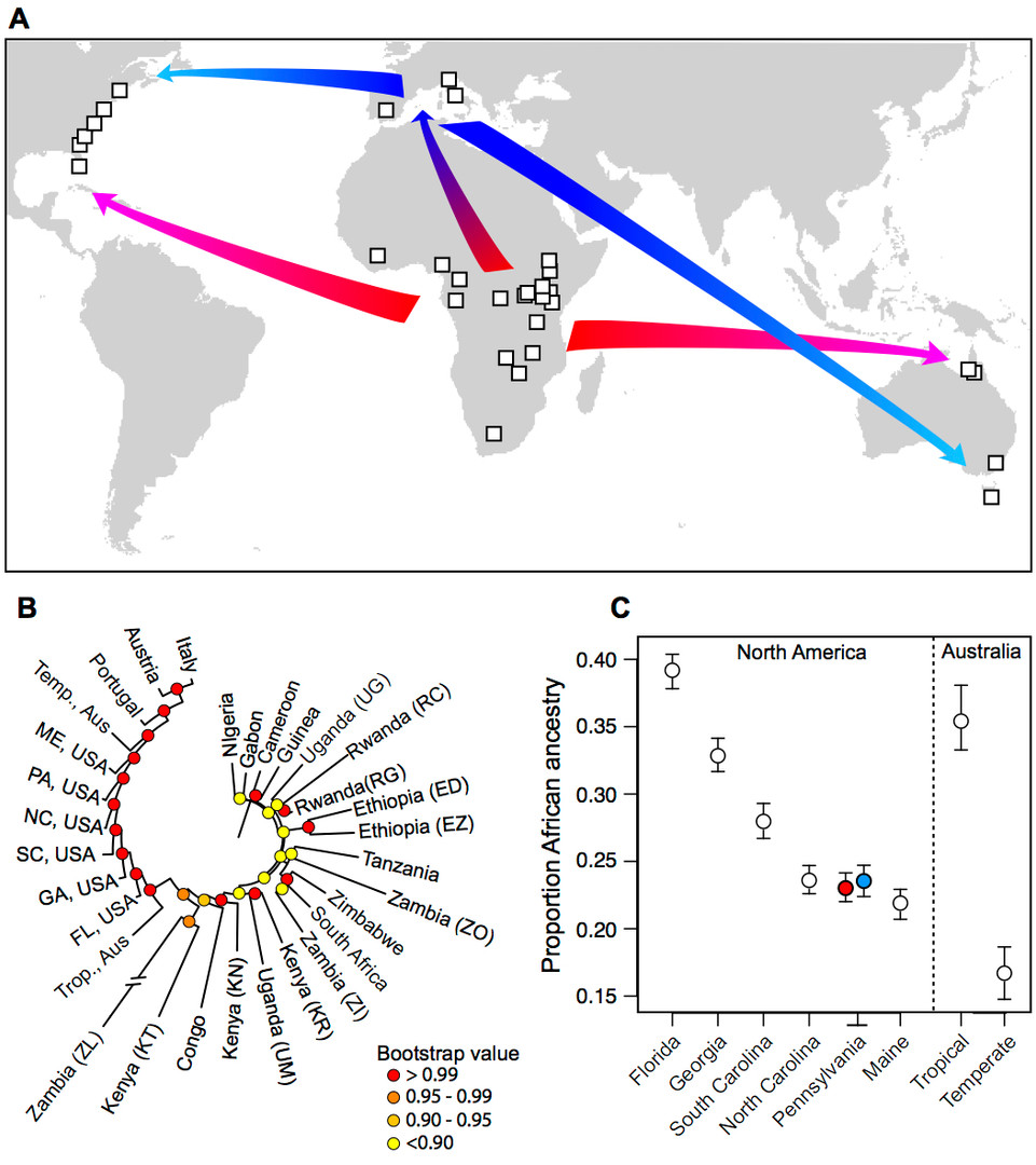 Secondary contact and local adaptation contribute to genome-wide patterns of clinal variation in Drosophila 	melanogaster