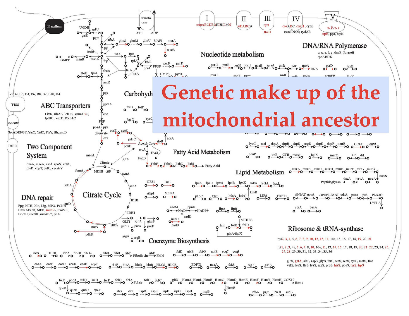 Phylogenomic Reconstruction Indicates Mitochondrial Ancestor Was an Energy Parasite