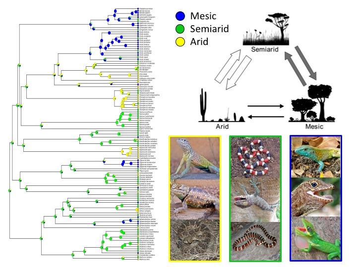Evolutionary shifts in habitat aridity predict evaporative water loss across squamate reptiles