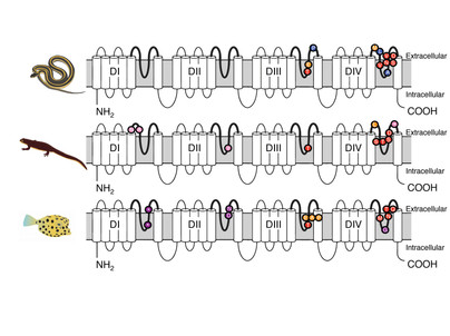 Predictably convergent evolution of sodium channels in the arms race between predators and prey