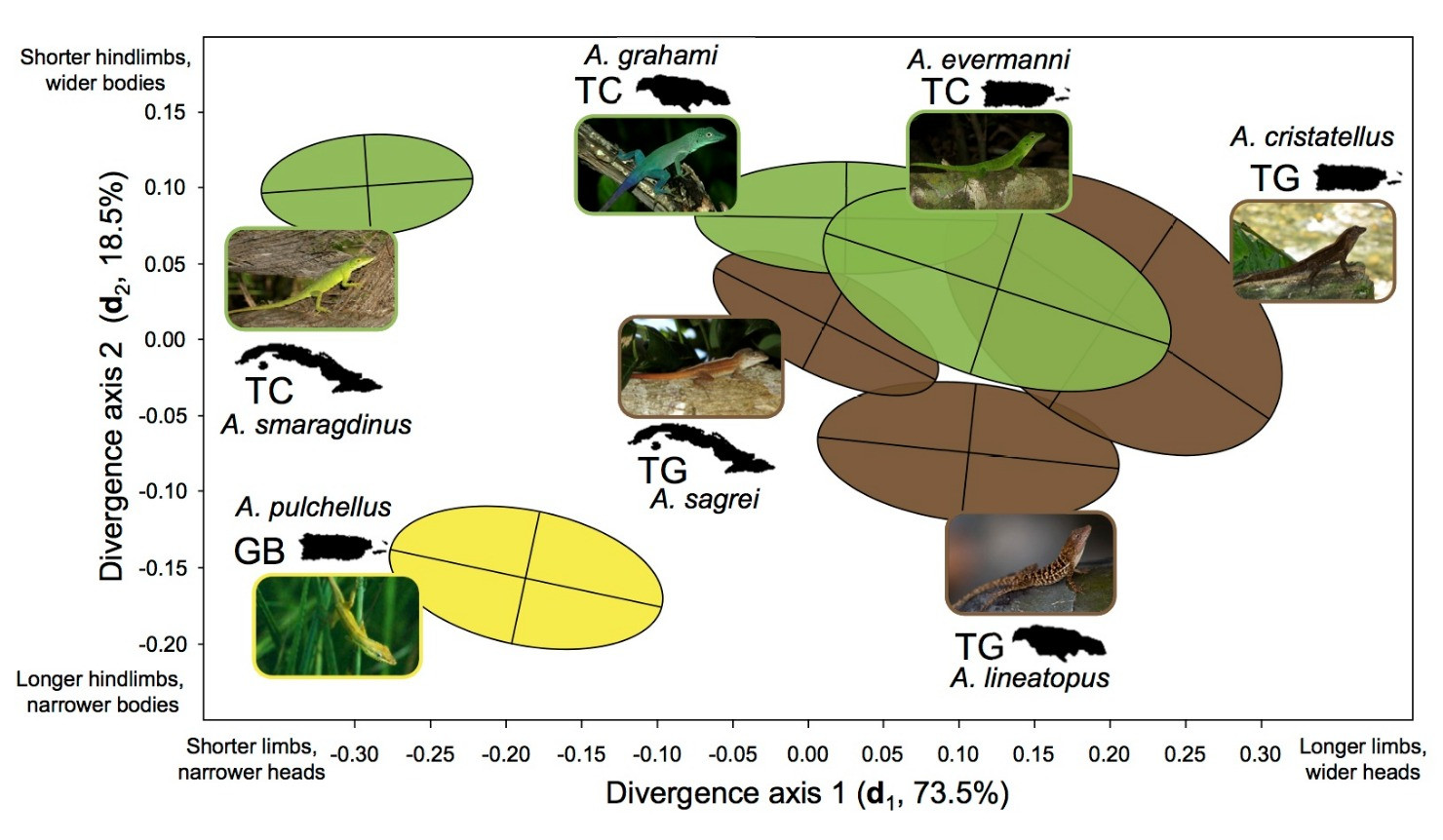 Adaptive radiation along a deeply conserved genetic line of least resistance in Anolis lizards