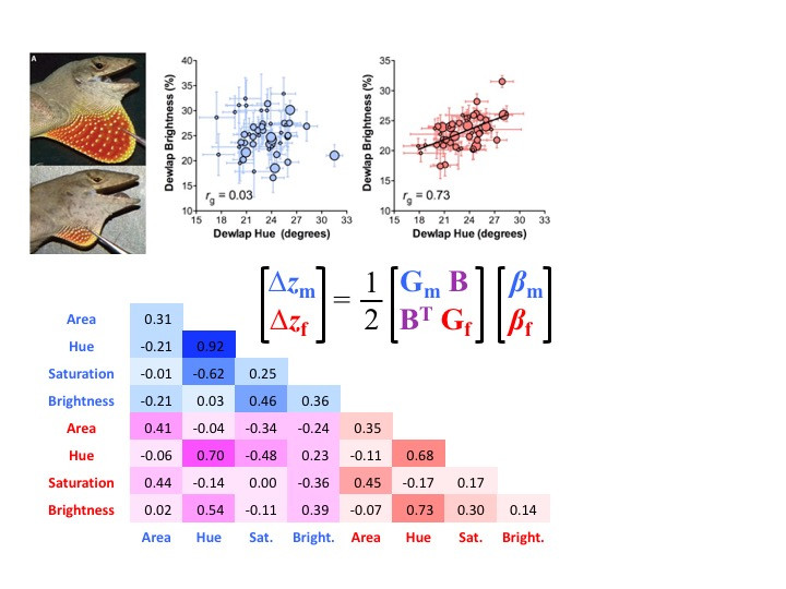 Multivariate genetic architecture of the Anolis dewlap reveals both shared and sex-specific features of a sexually dimorphic ornament
