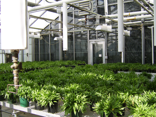 Plantago in greenhouse.jpg