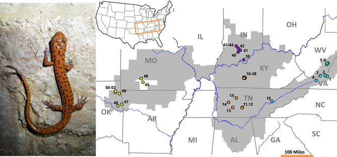 Cyto-nuclear discordance suggests complex evolutionary history in the cave-dwelling salamander, Eurycea lucifuga