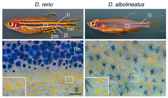 Pigment cell interactions and differential xanthophore recruitment underlying zebrafish stripe reiteration and Danio pattern evolution