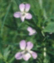 Viola eliator ©CBNBP