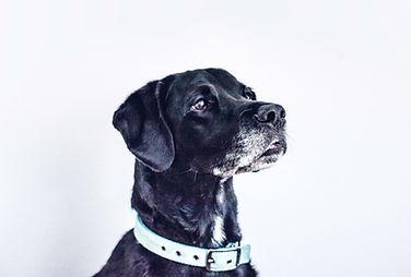 Svart hund
