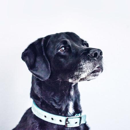 OLD DOG VESTIBULAR DISEASE WITH YOUR SENIOR DOG