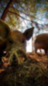 Savage Mountain Rooting Pigs.jpg