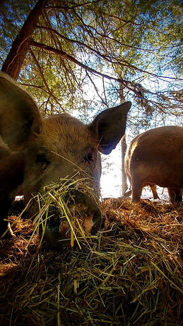 Savage Mountain Rooting Pigs.jpg