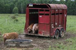Hello, Pigs!