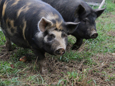 Pittsburgh's Pig Farmers Putting Their Animals First