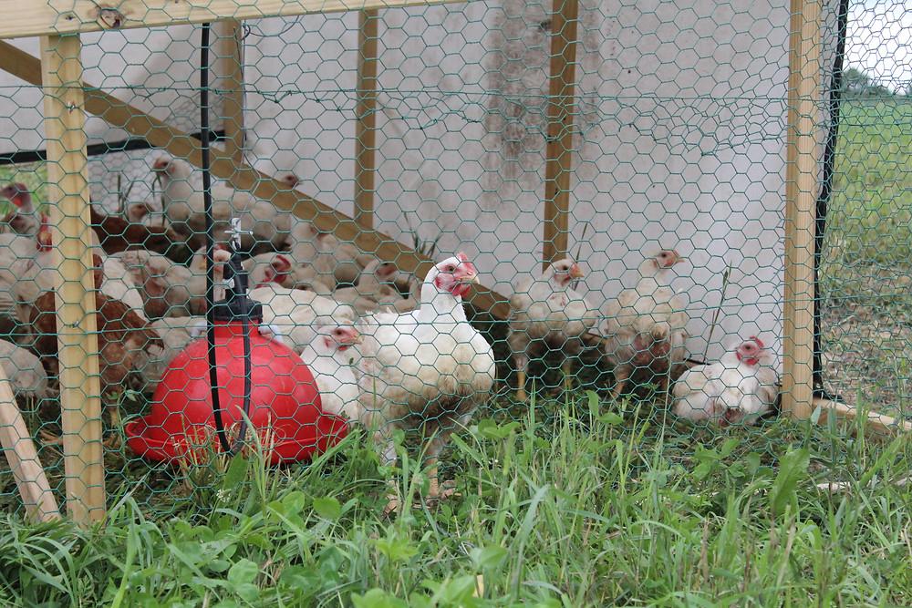 Burns Heritage Farm poultry