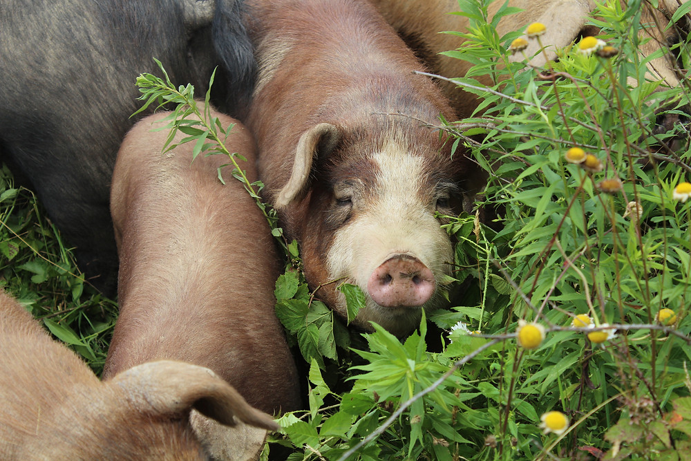 Pastured pigs at Blackberry Meadows Farm