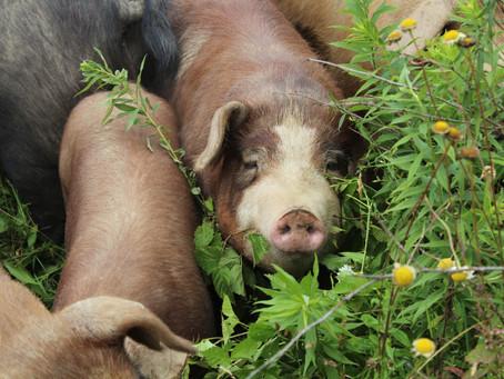 The Secret to Raising Healthier Meat