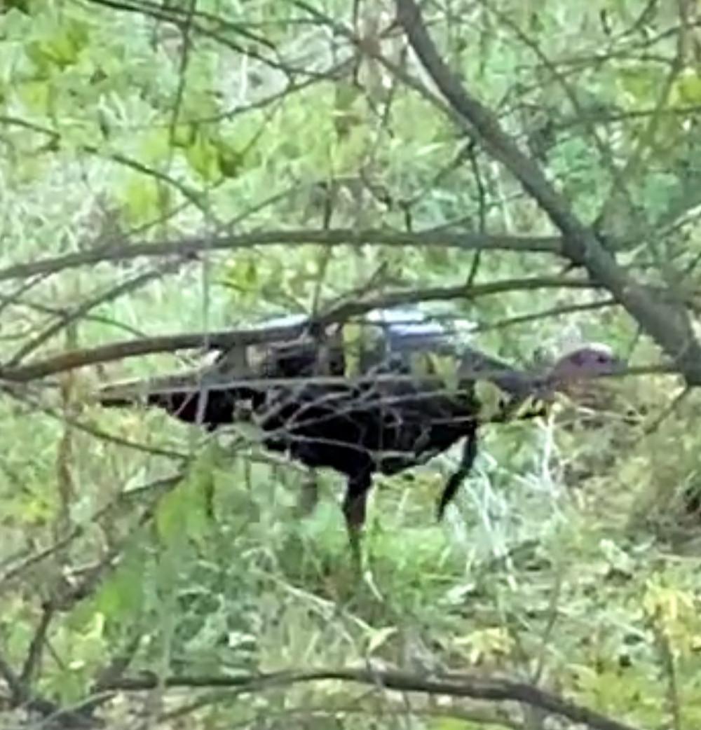 Wild Turkey Walking in Woods (Male)