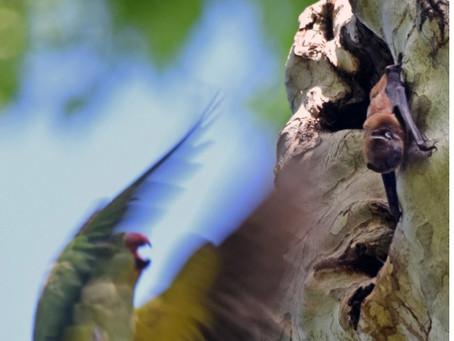 No es fácil ser murciélago: subestimando los efectos de las especies invasoras