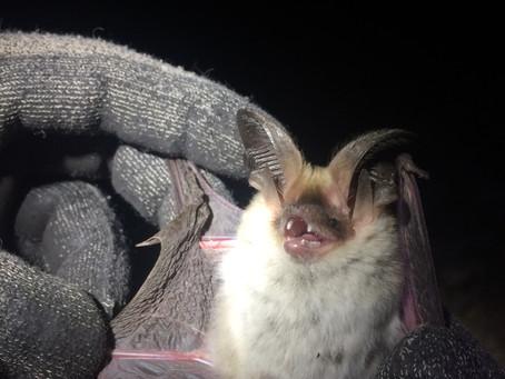 Capturar murciélagos en épocas reproductivas.