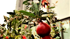 Pomegranate Tree at a Ground Floor Apartment in Ireo Skyon